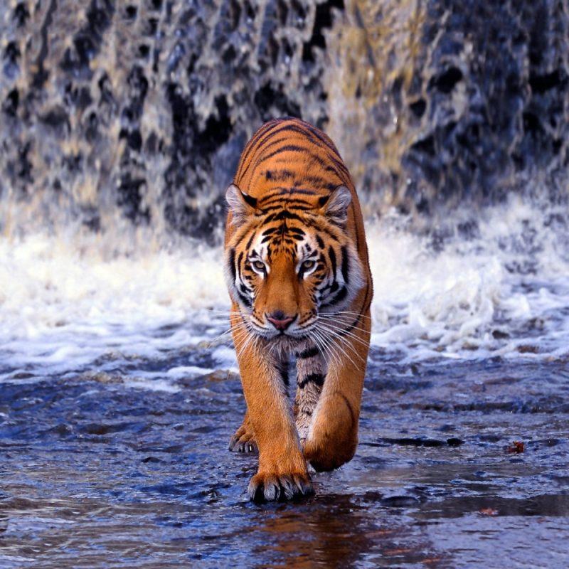 10 Top White Bengal Tigers Wallpaper FULL HD 1080p For PC Desktop 2020 free download top 70 bengal tiger wallpaper hd animal spot 1 800x800