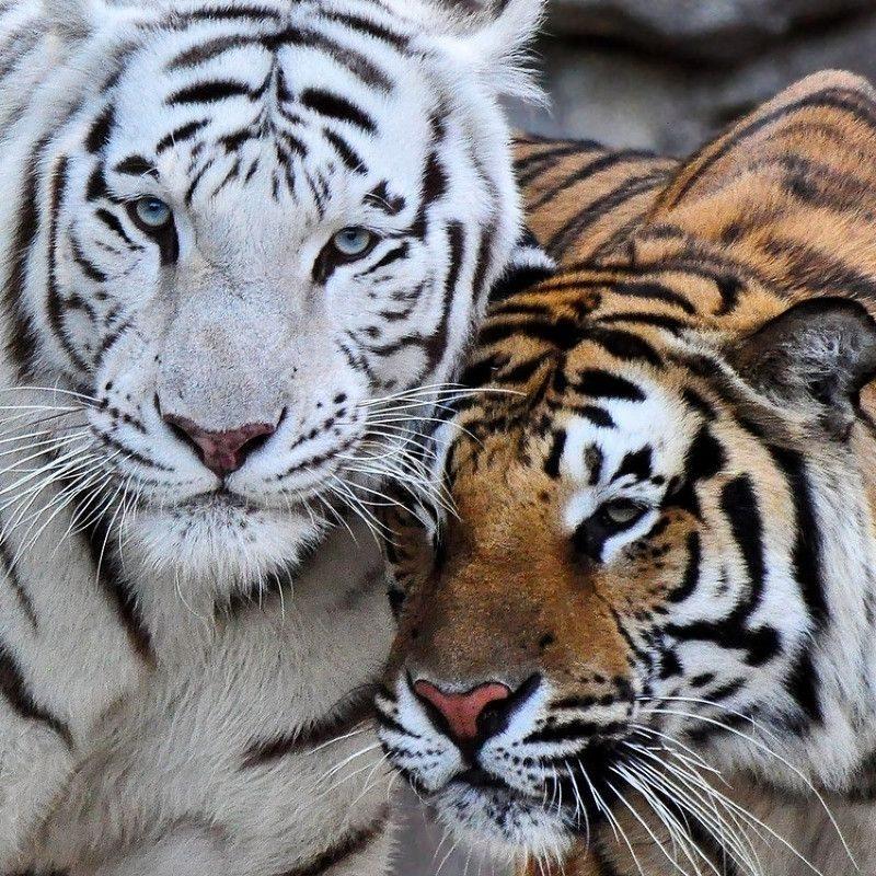 10 Top White Bengal Tigers Wallpaper FULL HD 1080p For PC Desktop 2020 free download top 70 bengal tiger wallpaper hd animal spot 800x800