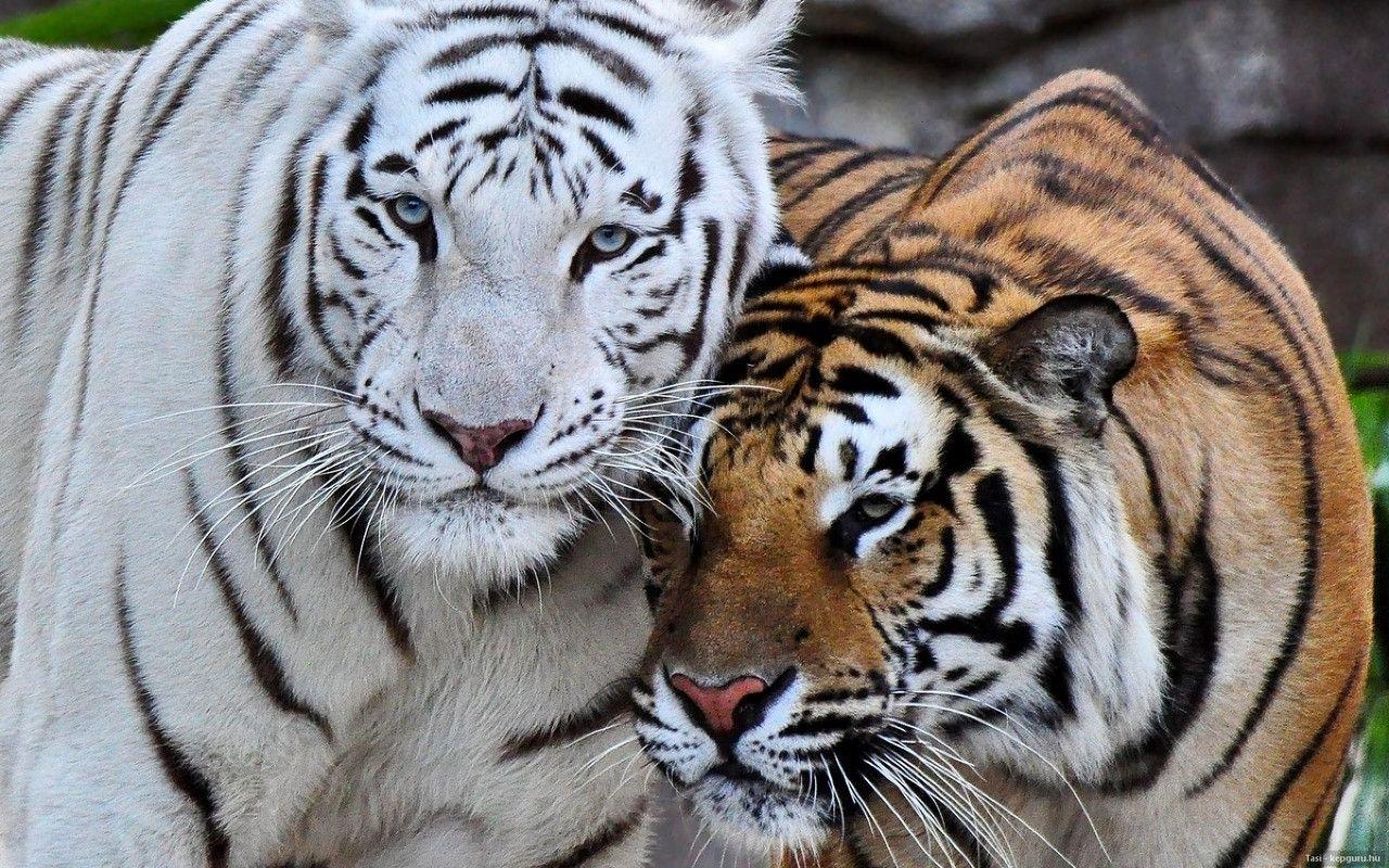 top 70 bengal tiger wallpaper - hd animal spot