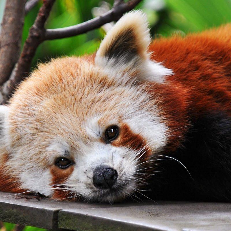 10 Latest Red Panda Wallpaper 1920X1080 FULL HD 1920×1080 For PC Desktop 2021 free download top 76 red panda wallpaper hd animal spot 800x800