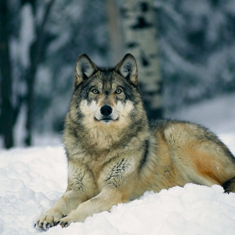 10 Most Popular Grey Wolf Wallpaper 1920X1080 FULL HD 1920×1080 For PC Desktop 2018 free download top 79 gray wolf wallpaper hd animal spot 800x800
