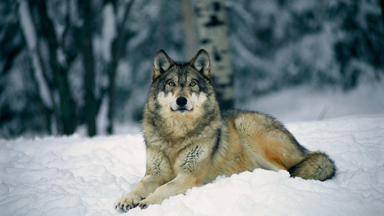 top 79 gray wolf wallpaper - hd animal spot