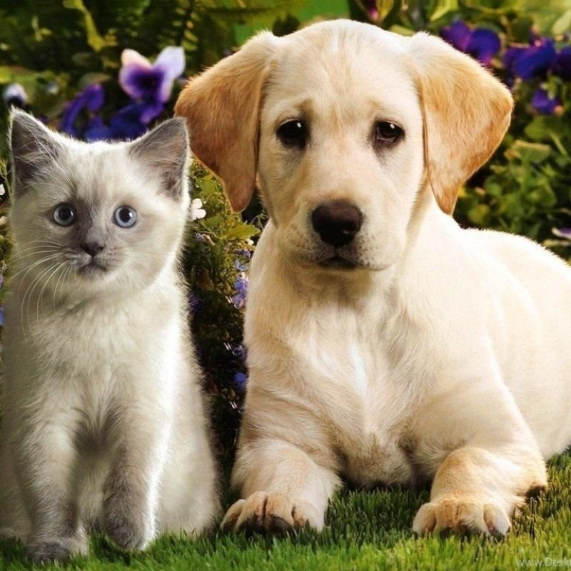 10 Top Puppies And Kittens Wallpaper FULL HD 1920×1080 For PC Background 2018 free download top cute puppies and kittens wallpaper images for pinterest desktop 800x800