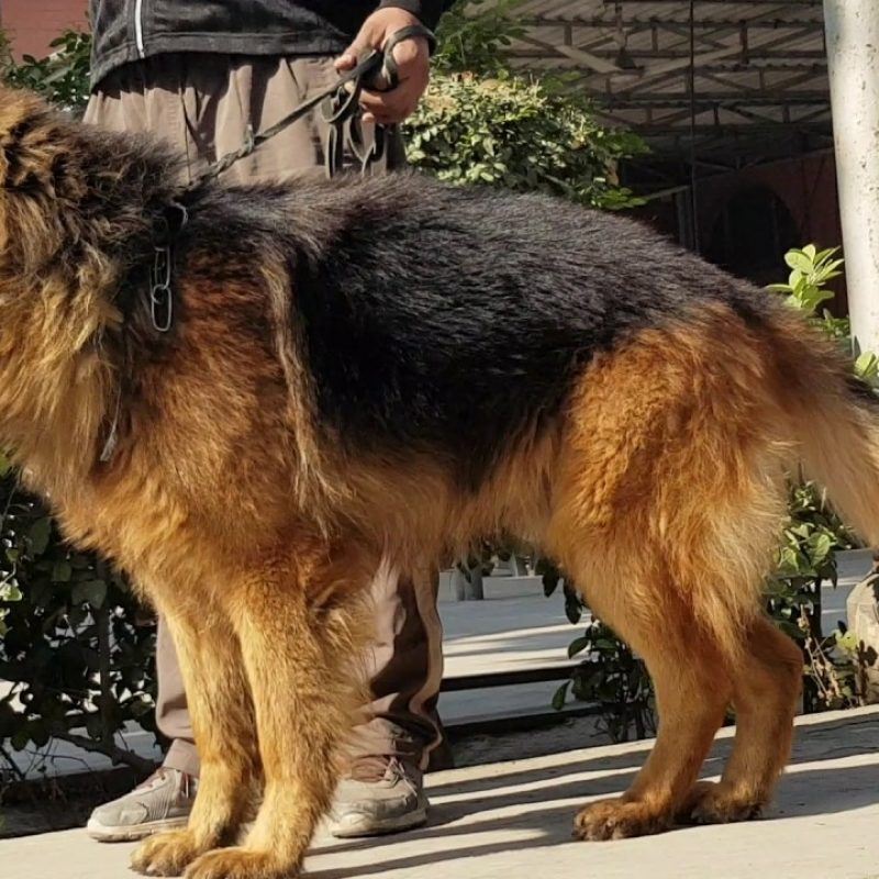 10 Most Popular German Shepherd Dog Images Hd FULL HD 1920×1080 For PC Background 2020 free download trained german shepherd dog full hd video youtube 800x800
