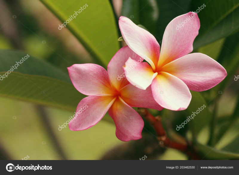 10 Latest Images Of Tropical Flowers FULL HD 1080p For PC Background 2021 free download tropical flowers pink frangipani stock photo oilslo 203462530 800x584