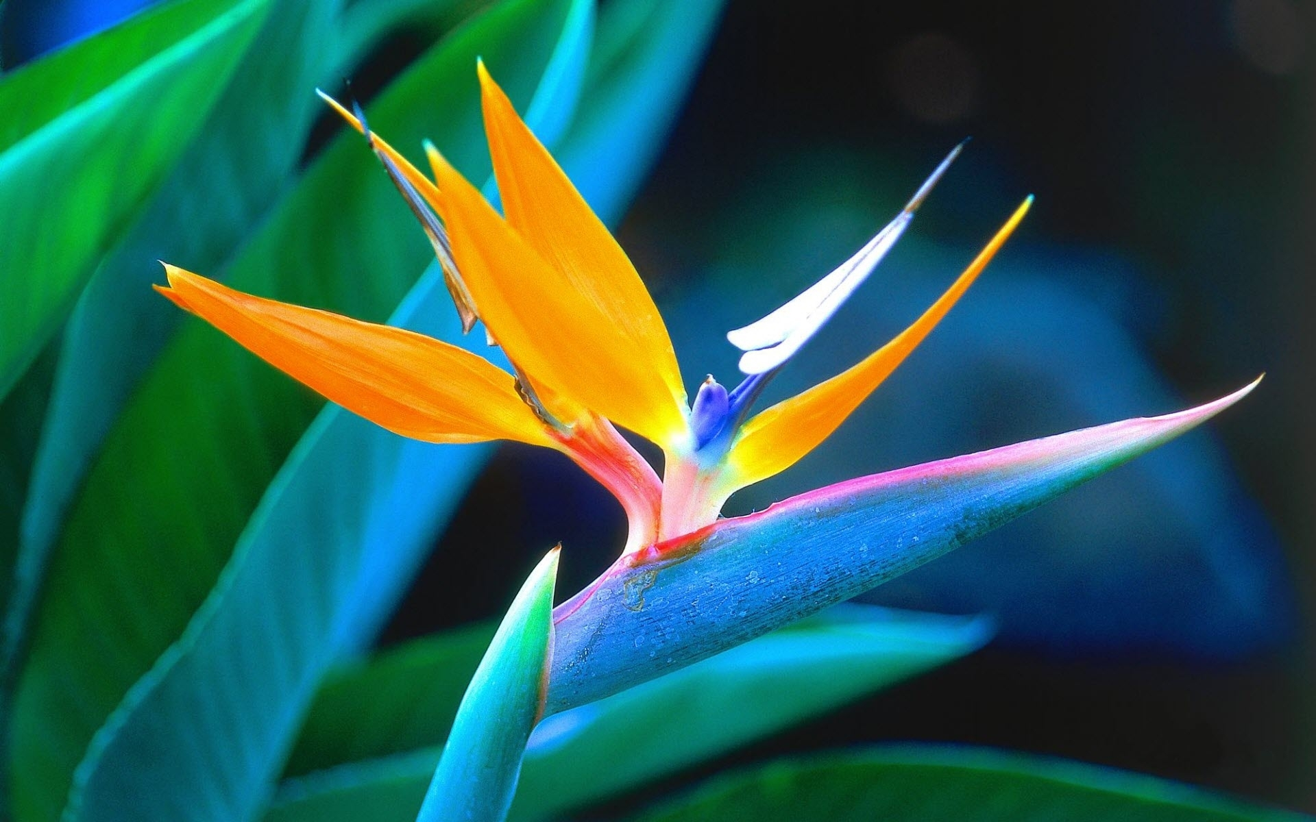 tropical flowers wallpapers | hd wallpapers pulse