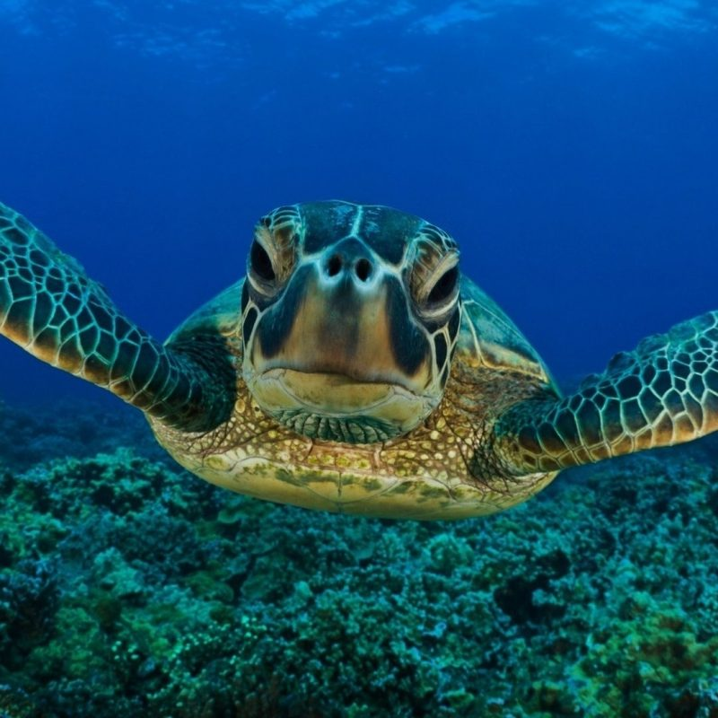 10 Latest Sea Turtle Desktop Wallpaper FULL HD 1920×1080 For PC Background 2020 free download turtle swimming wallpaper photos 155i0c 1913x1080 px 489 06 kb 800x800