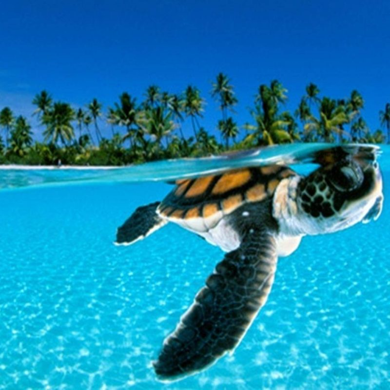 10 Latest Sea Turtle Desktop Wallpaper FULL HD 1920×1080 For PC Background 2020 free download turtle wallpapers wallpaper cave 800x800