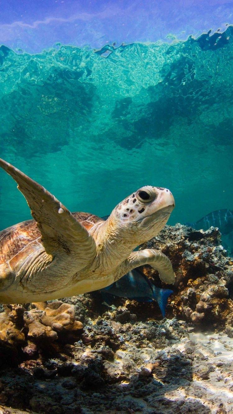 turtle_ocean_water_macro_fish_corals_73287_750x1334 (750×1334