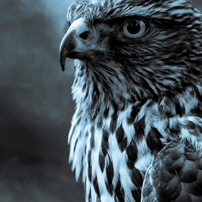 10 Best Eagle Wallpaper For Android FULL HD 1920×1080 For PC Desktop 2020 free download twilight eagle profile dark android wallpaper free download 800x800