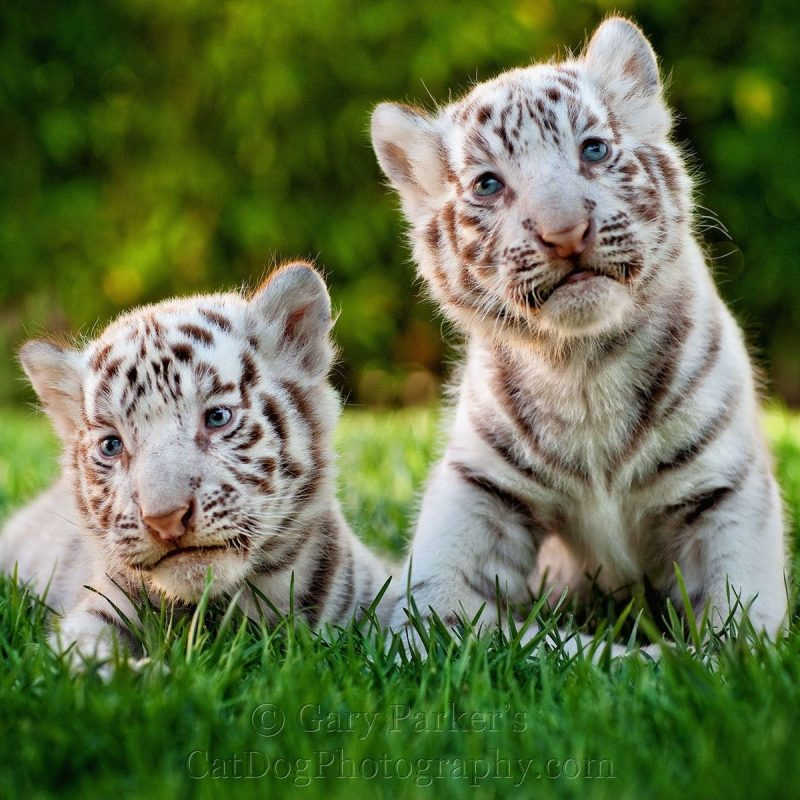 10 Most Popular Pictures Of Baby White Tigers FULL HD 1080p For PC Desktop 2020 free download two cute white tiger baby cubs animals pinterest baby cubs 800x800
