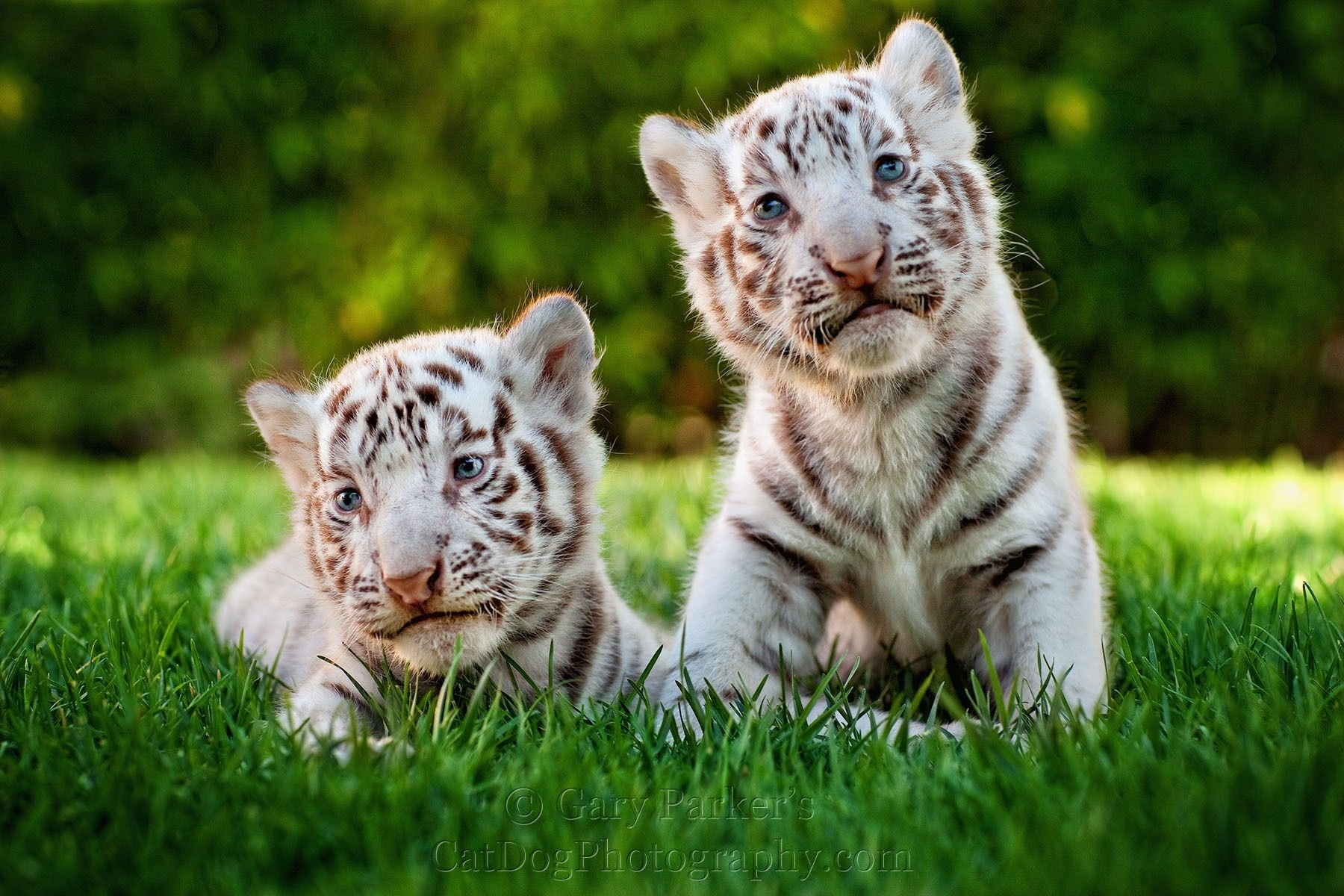 two cute white tiger baby cubs | animals :) | pinterest | baby cubs