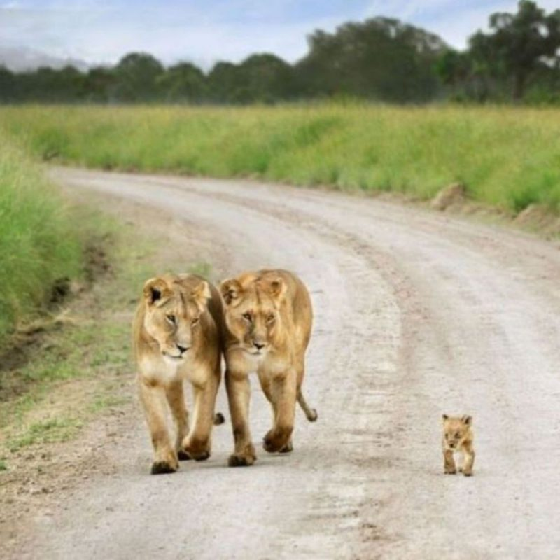 10 Top Cute Wild Animal Wallpaper FULL HD 1080p For PC Background 2021 free download two lions walk with his cute baby cub hd wild animal photos hd 800x800