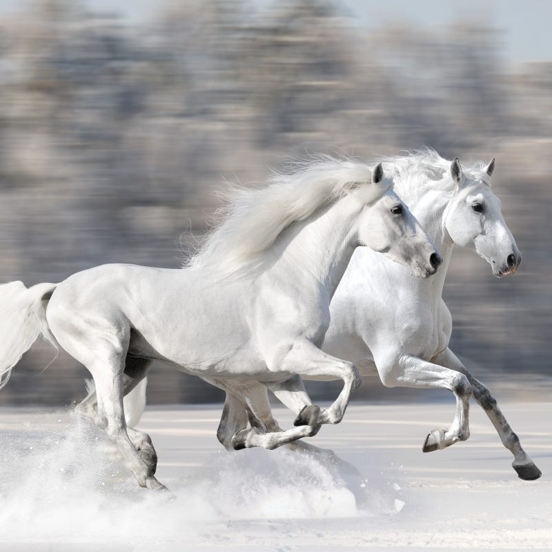 10 Latest Pictures Of White Horses Running FULL HD 1920×1080 For PC Background 2018 free download two white horses running 800x800