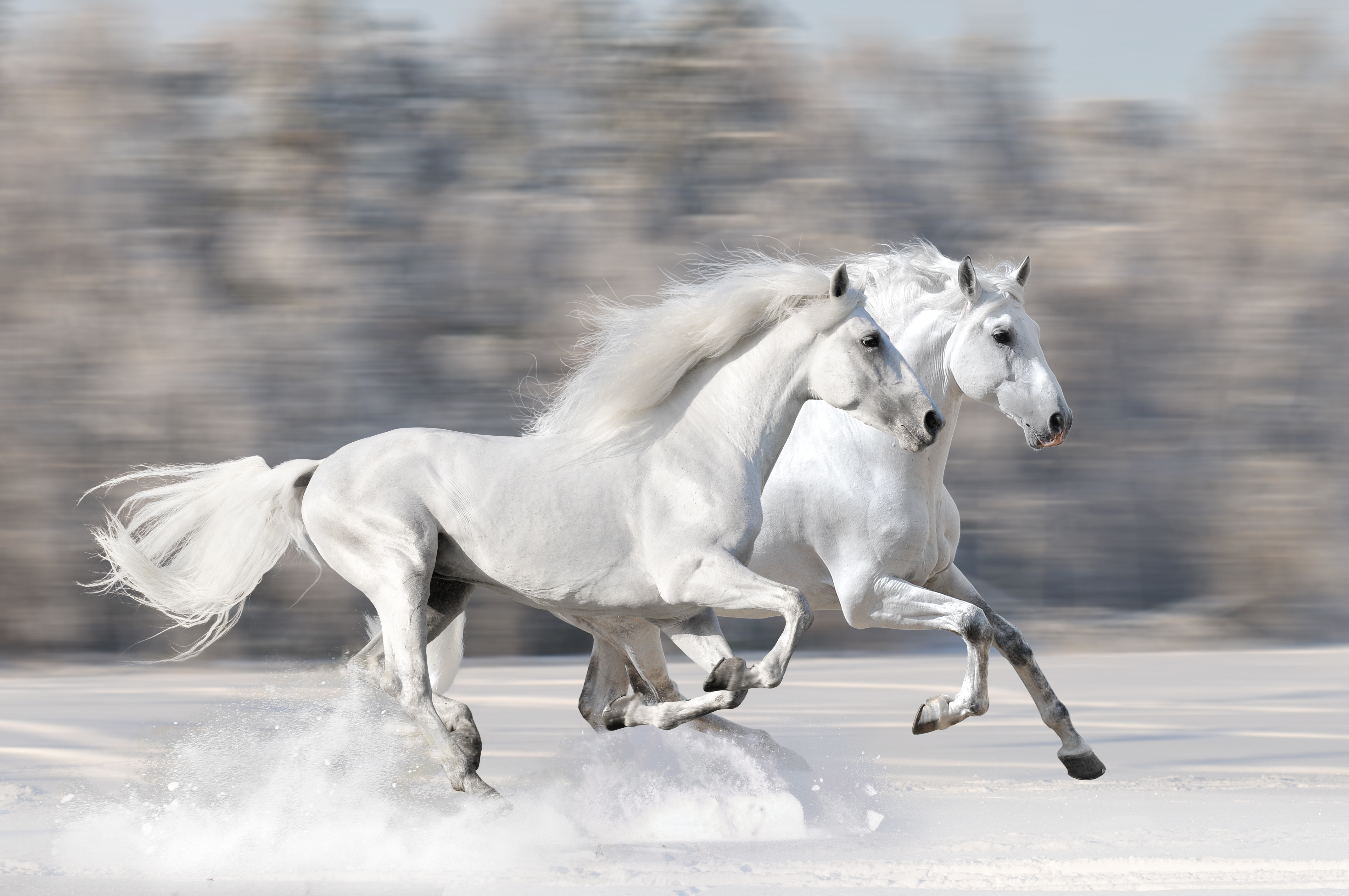 two white horses running