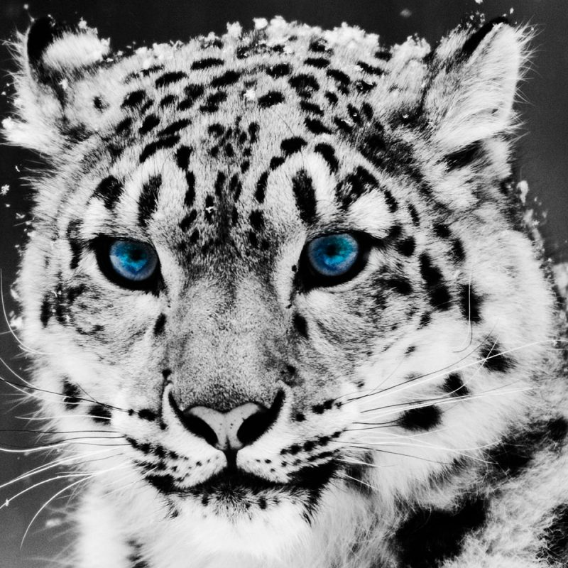 10 Best Black And White Leopard Wallpaper FULL HD 1920×1080 For PC Desktop 2020 free download ultra hd 4k snow leopard wallpapers hd desktop backgrounds 800x800