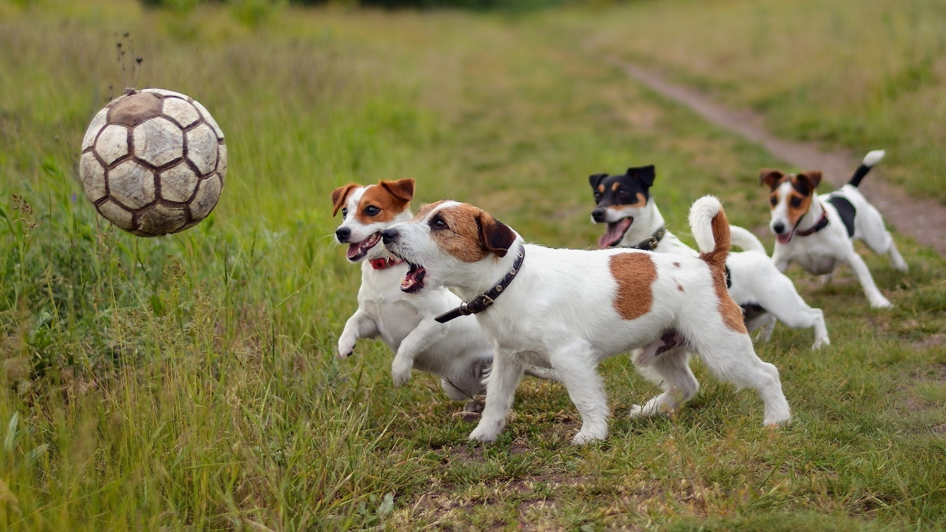 wallpaper : animals, soccer ball, jack russell terrier, harrier