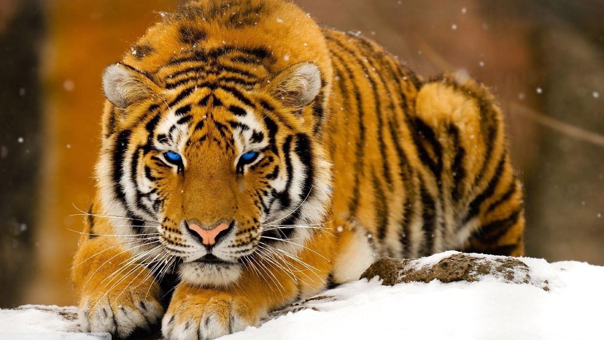 wallpaper : animals, tiger, wildlife, big cats, whiskers, 1920x1080