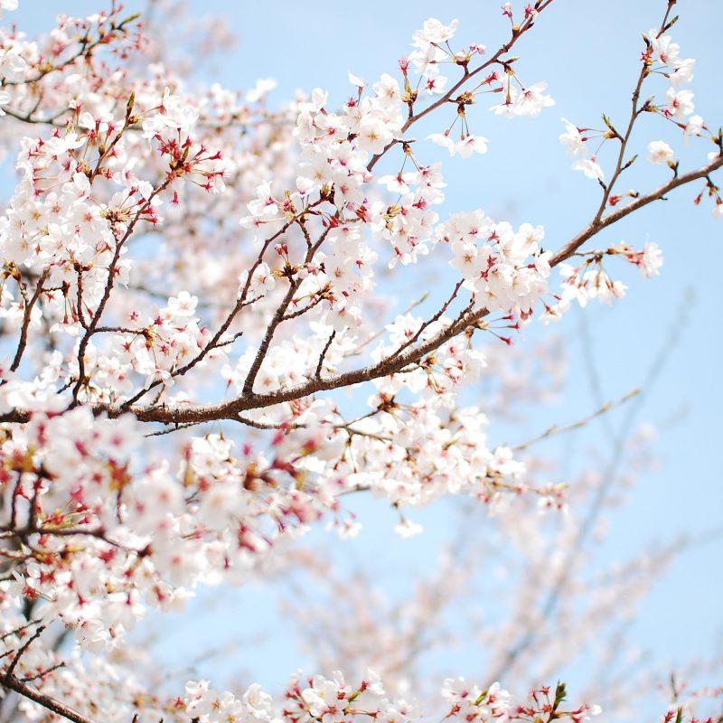 10 Most Popular Sakura Cherry Blossom Wallpaper FULL HD 1920×1080 For PC Desktop 2020 free download wallpaper bcherry b tree bblossom b sakura flower 800x800