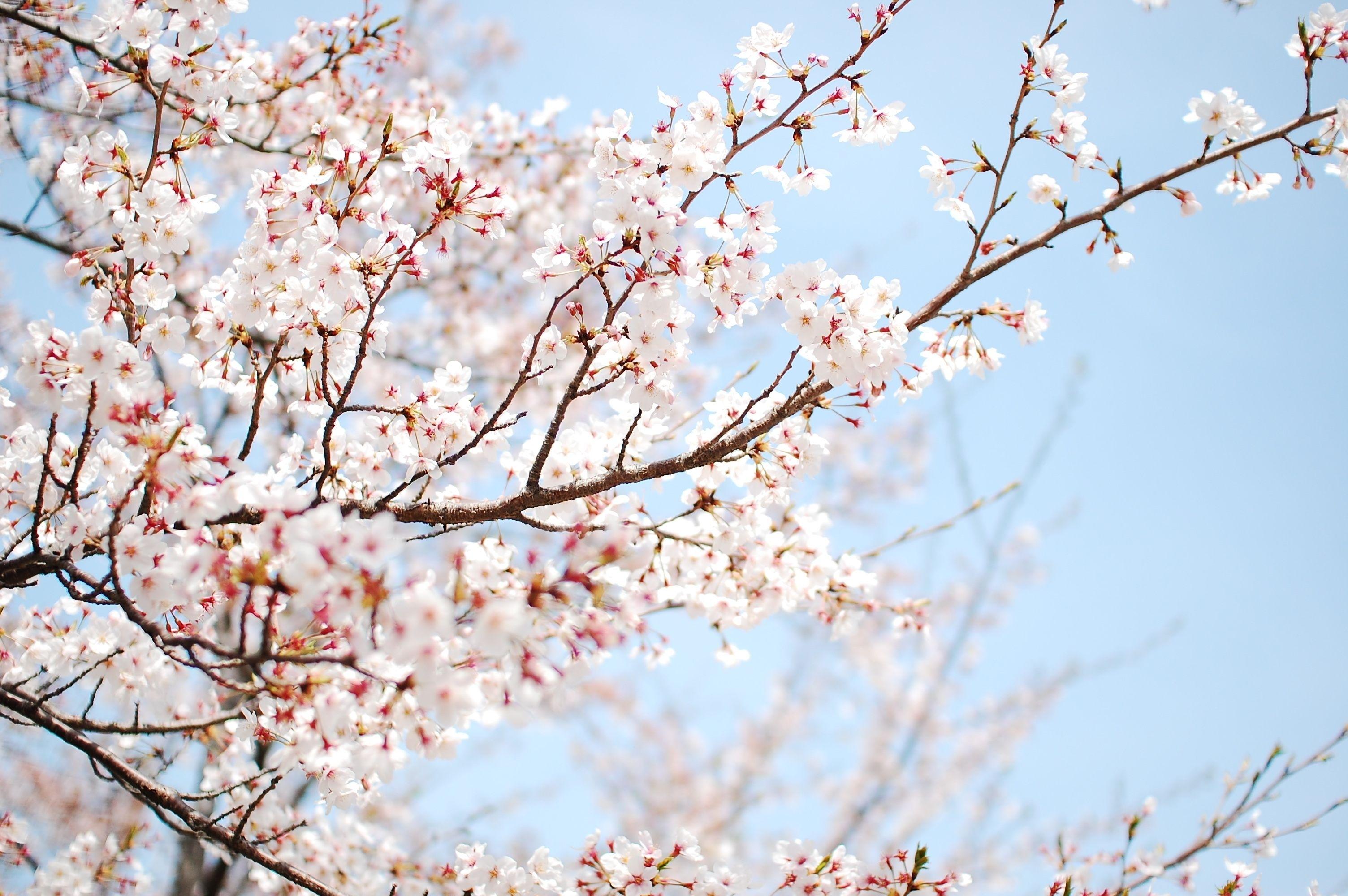 wallpaper <b>cherry</b>, tree, <b>blossom</b>, sakura, flower