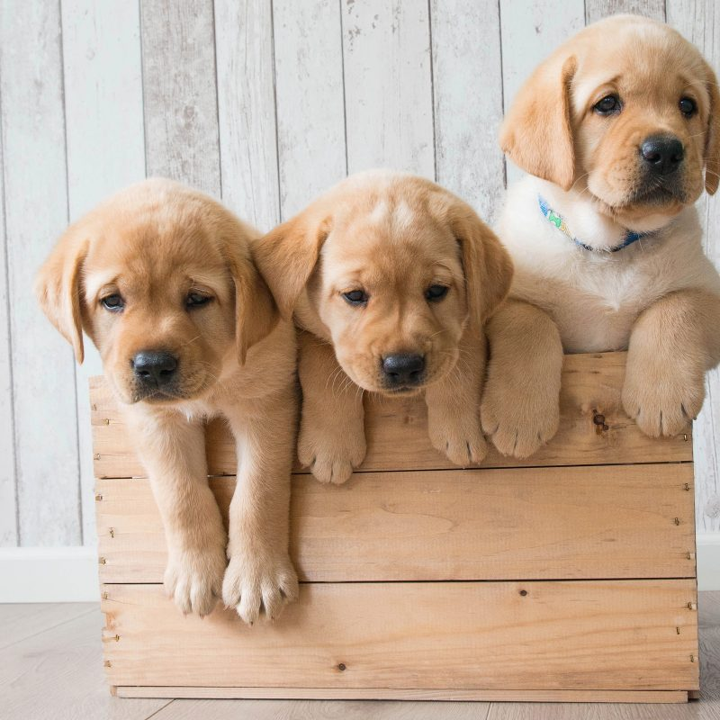 10 New Golden Retriever Puppies Wallpaper FULL HD 1920×1080 For PC Background 2021 free download wallpaper cute puppies golden retriever hd 4k animals 4167 800x800