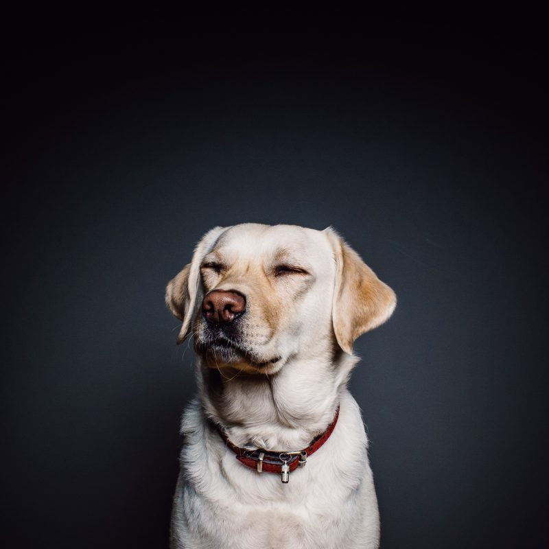 10 Top Dog Wallpaper For Android FULL HD 1080p For PC Background 2018 free download wallpaper labrador dog cute animals 4k animals 15267 800x800