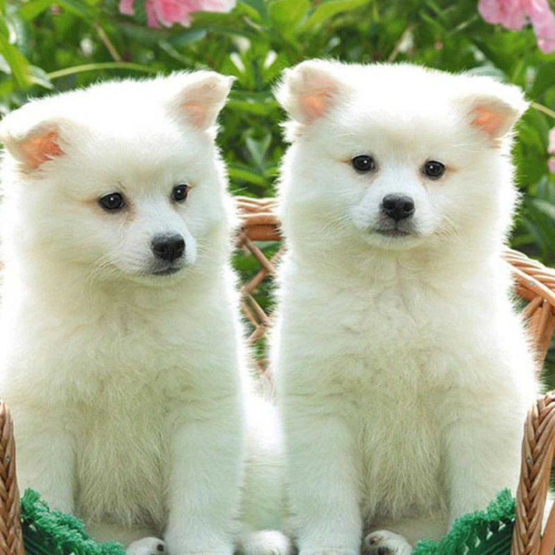 dogs Cats Two Kitten Bolognese Animals Baby Puppy Wallpapers