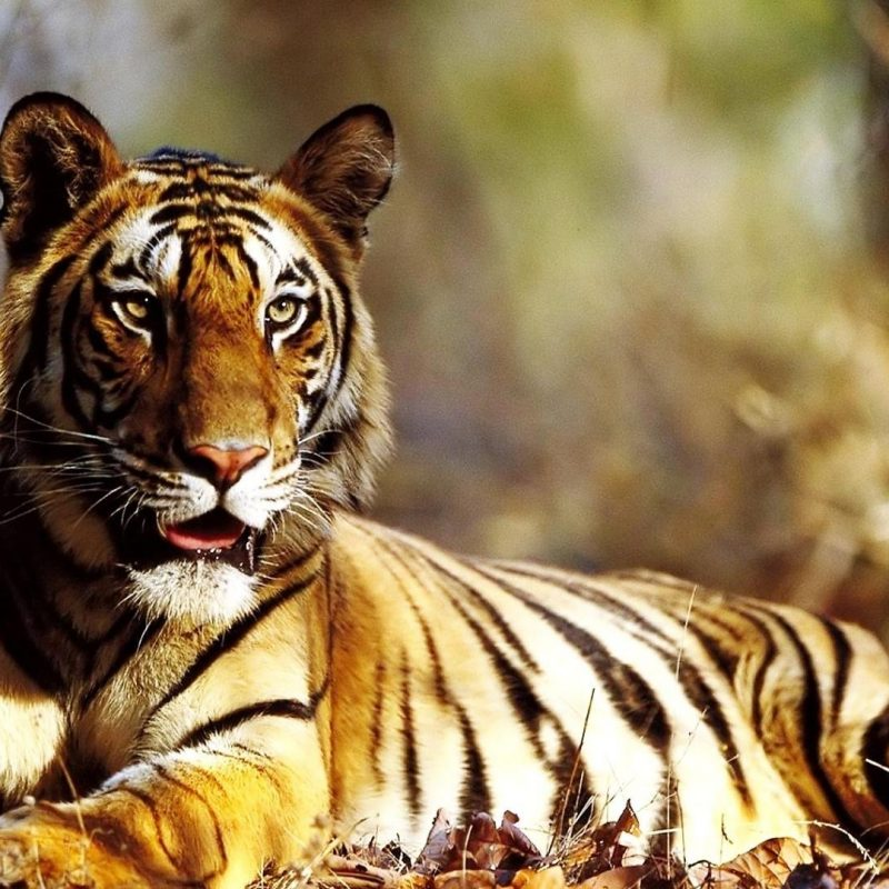 10 New Siberian Tiger Wallpaper Hd 1080P FULL HD 1080p For PC Background 2020 free download wallpaper wiki amazing tiger wallpaper hd picture 1080p pic 800x800