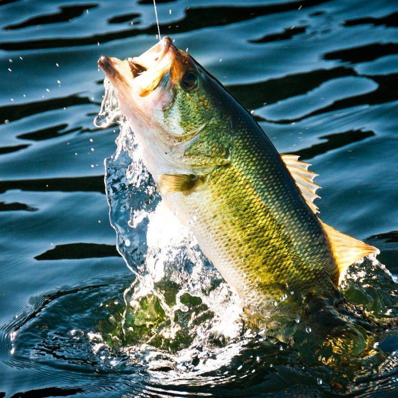10 Latest Bass Fishing Wallpaper Hd FULL HD 1080p For PC Desktop 2021 free download wallpaper wiki bass fishing wallpaper widescreen pic wpc009880 800x800