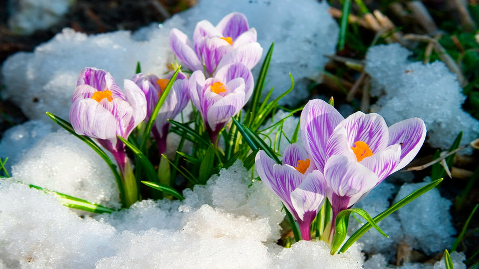 wallpaper.wiki-spring-flowers-hd-background-pic-wpb00465 - wallpaper