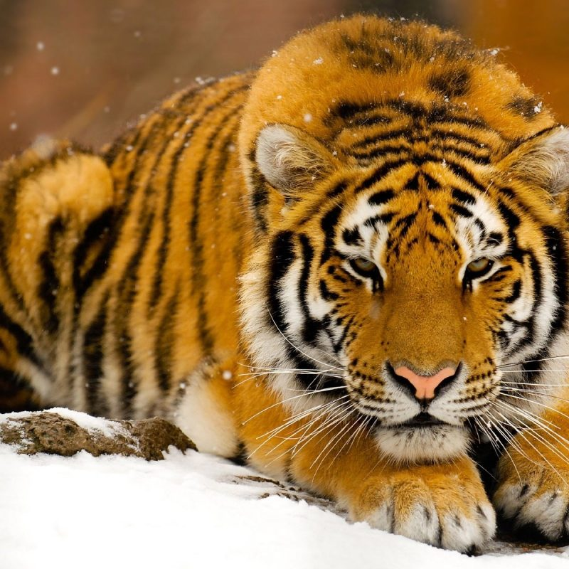 10 New Wildlife Wallpapers Free Download FULL HD 1080p For PC Background 2020 free download wallpaper wiki wildlife wallpaper free download pic wpd007501 800x800