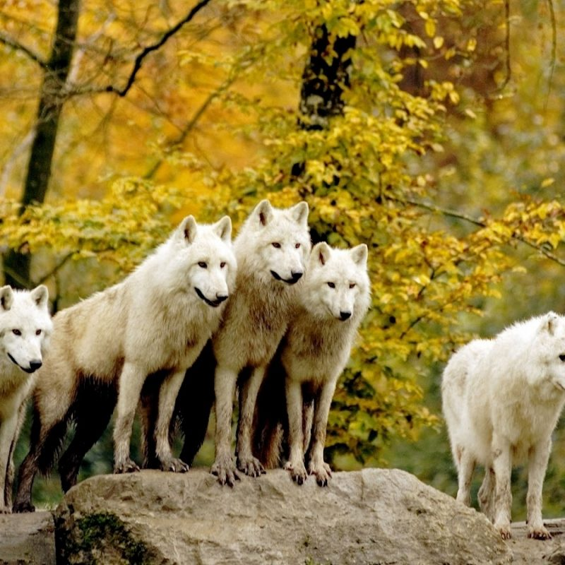 10 Latest Wolf Pack Wallpaper 1920X1080 FULL HD 1080p For PC Desktop 2020 free download wallpaper wolf wallpaper hd pack 800x800