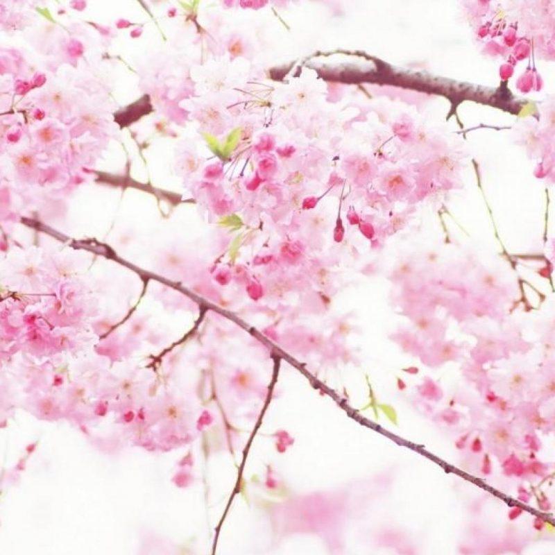 10 Most Popular Sakura Cherry Blossom Wallpaper FULL HD 1920×1080 For PC Desktop 2020 free download wallpapers cherry blossom sakura wallpaper wiki 800x800