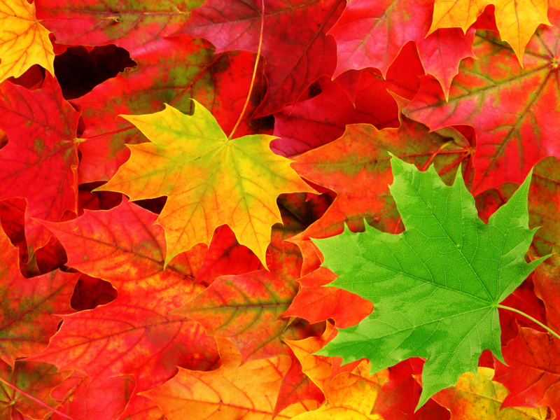10 Latest Hd Fall Leaves Wallpaper FULL HD 1920×1080 For PC Desktop 2018 free download wallpapers collection autumn leaves wallpapers 800x600