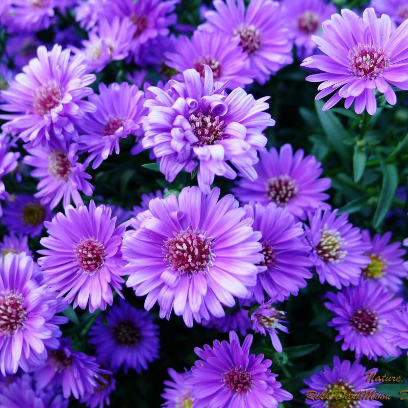10 New Pic Of Purple Flowers FULL HD 1920×1080 For PC Desktop 2018 free download wallpapers collection purple flowers wallpapers 800x800