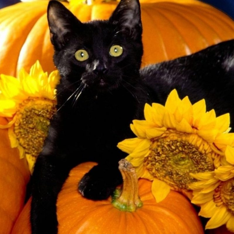 10 Latest Halloween Cat Desktop Wallpaper FULL HD 1080p For PC Desktop 2018 free download wallpapers tagged with halloween pumpkins love creative cute cats 800x800