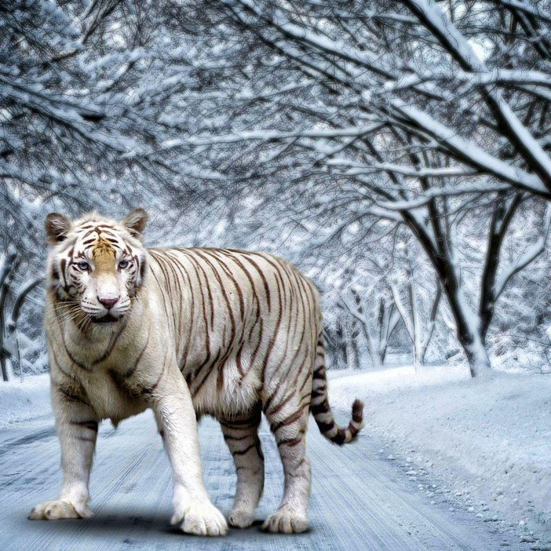 10 Top White Bengal Tigers Wallpaper FULL HD 1080p For PC Desktop 2020 free download white bengal tiger wallpapers wallpaper cave 800x800