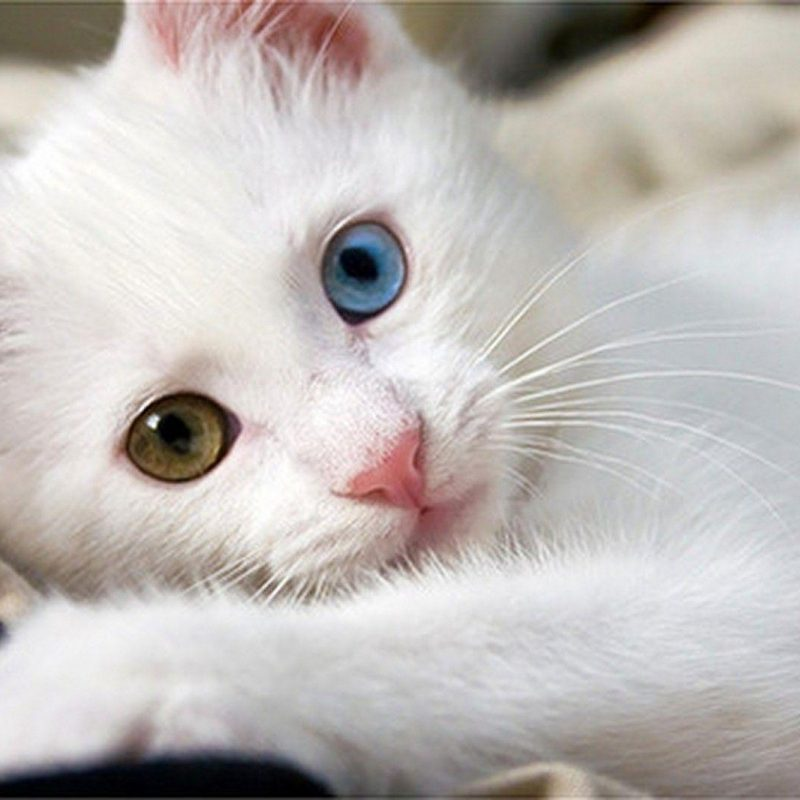 10 New Cute White Cat Pictures FULL HD 1920×1080 For PC Desktop 2020 free download white cat wallpapers wallpaper cave 800x800