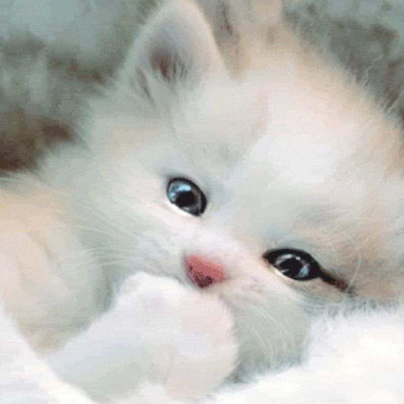 10 New Cute White Cat Pictures FULL HD 1920×1080 For PC Desktop 2020 free download white cat wallpapers wallpaper cave best games wallpapers 800x800