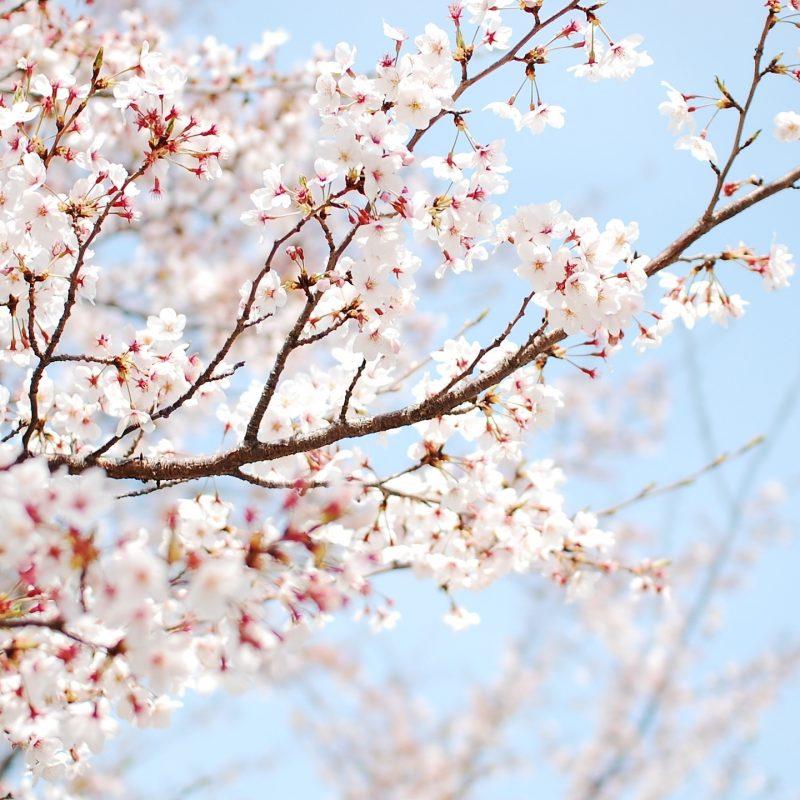 10 Top Cherry Blossoms Desktop Wallpaper FULL HD 1080p For PC Desktop 2018 free download white cherry blossom wallpapers pixelstalk 800x800