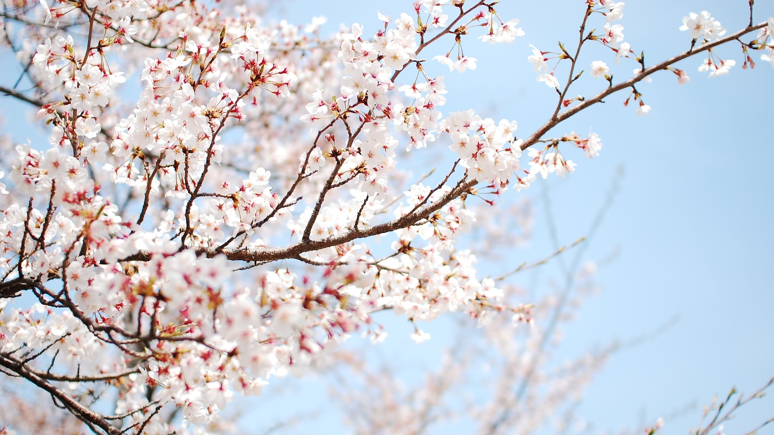 white cherry blossom wallpapers | pixelstalk
