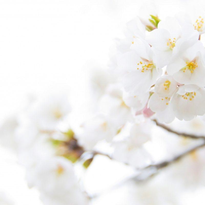 10 Latest White Flower Wall Paper FULL HD 1920×1080 For PC Desktop 2018 free download white cherry plum flowers e29da4 4k hd desktop wallpaper for 4k ultra hd 800x800