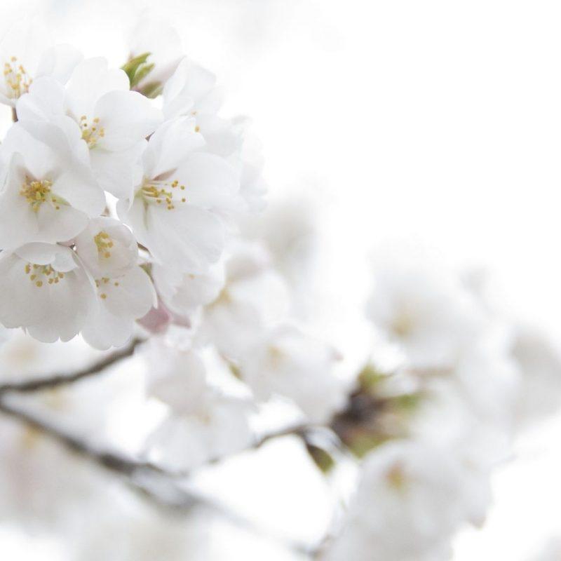 10 Latest White Flower Wall Paper FULL HD 1920×1080 For PC Desktop 2018 free download white floral wallpaper 46 background hdflowerwallpaper 800x800