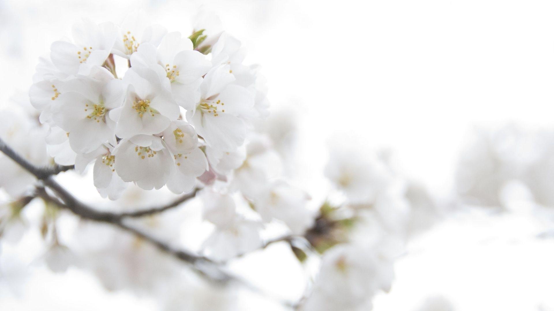 white floral wallpaper 46 background - hdflowerwallpaper