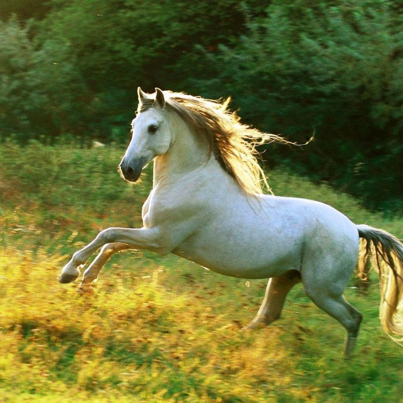 10 Latest Pictures Of White Horses Running FULL HD 1920×1080 For PC Background 2018 free download white horse running 829593 walldevil 800x800