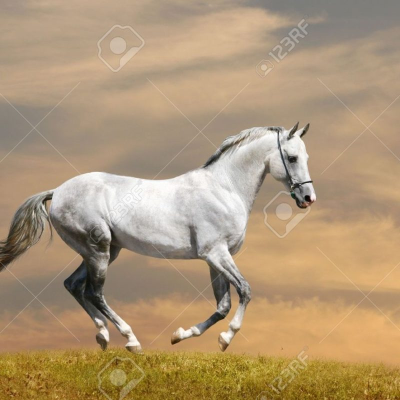 10 Latest Pictures Of White Horses Running FULL HD 1920×1080 For PC Background 2018 free download white horse running stock photo picture and royalty free image 800x800