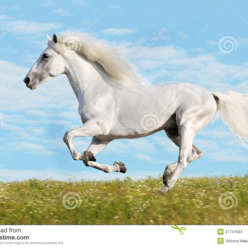 10 Latest Pictures Of White Horses Running FULL HD 1920×1080 For PC Background 2018 free download white horse runs gallop on the meadow stock photo image of horse 800x800