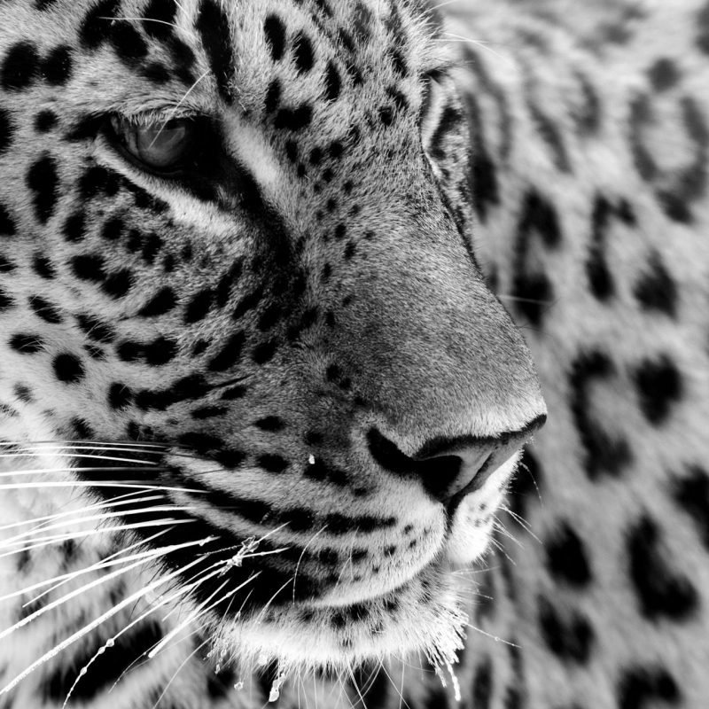 10 Latest Black And White Jaguar Pictures FULL HD 1920×1080 For PC Desktop 2020 free download white jaguar and a dream tania maries blog 800x800