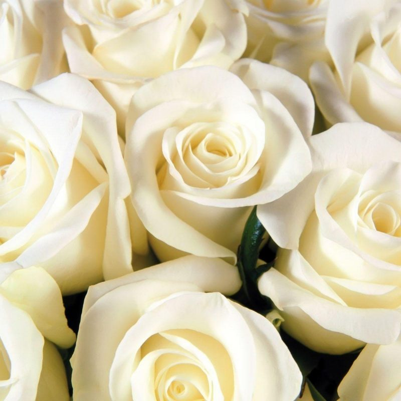 10 New White Roses Background Tumblr FULL HD 1920×1080 For PC Background 2018 free download white rose backgrounds wallpaper cave 800x800