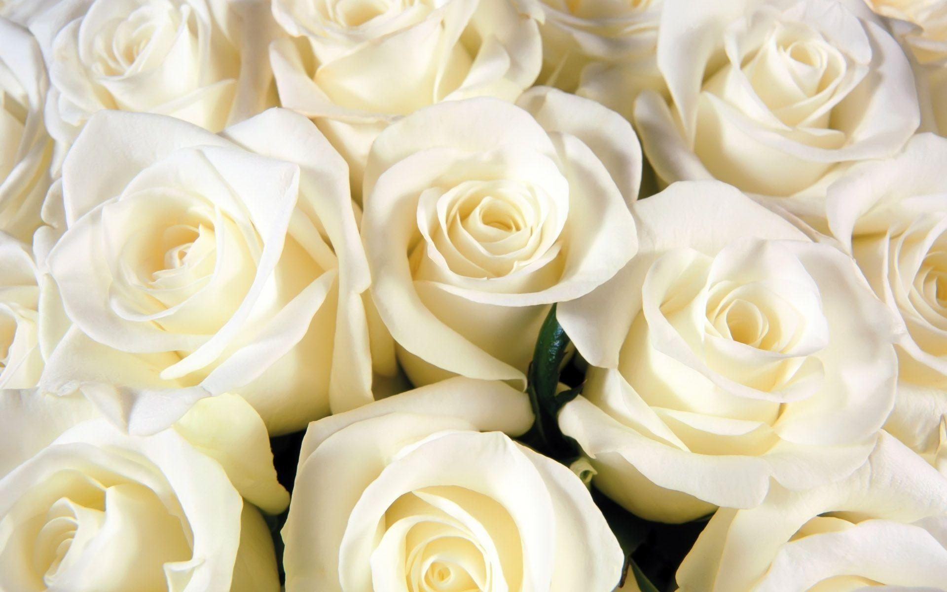 white rose backgrounds - wallpaper cave